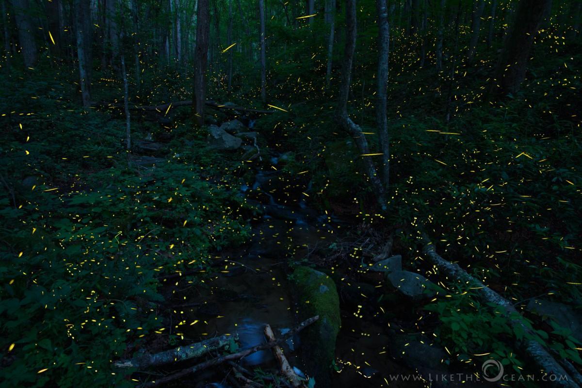Symphony of Light–Synchronous Fireflies @ Smokies | Like the Ocean